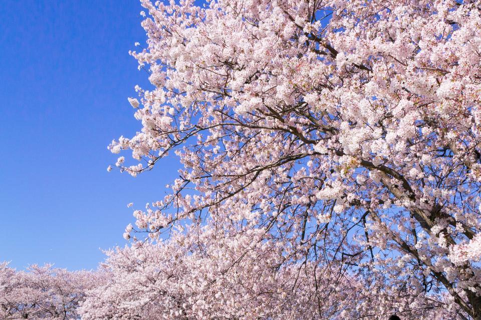 Fleur de cerisier Sakura et fleur de canola au parc Gongendo, Saitama