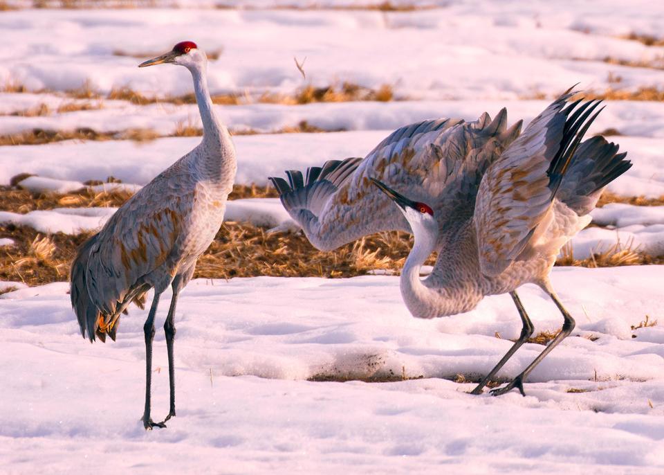 Sandhill Crane pareja en la nieve