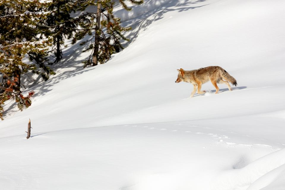 A coyote trots through the snow looking for food