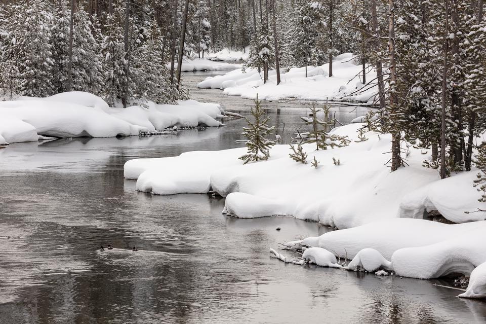 La sauvagine nage le long de la rivière Gibbon