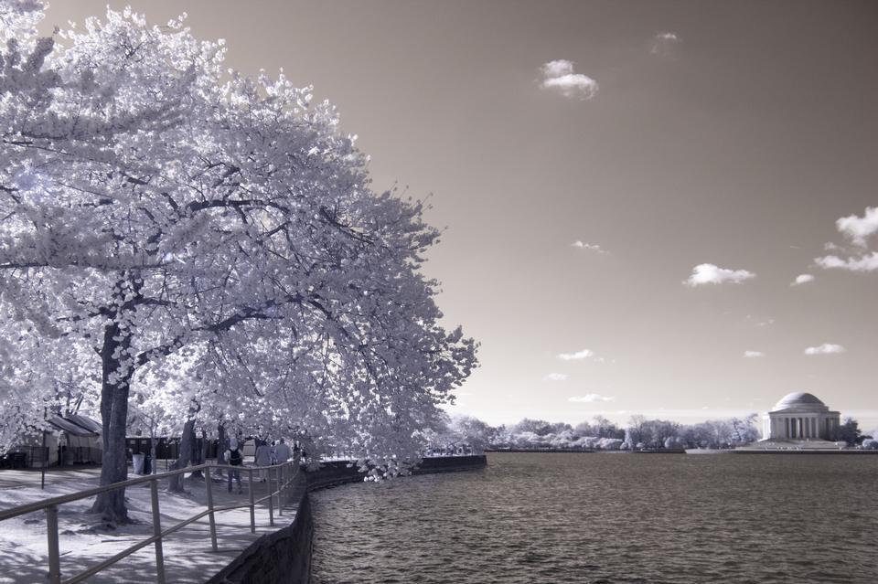 Цветущая вишня возле Приливного бассейна