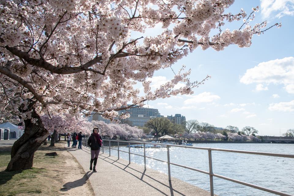 Kirschblüten in der Nähe des Gezeitenbeckens