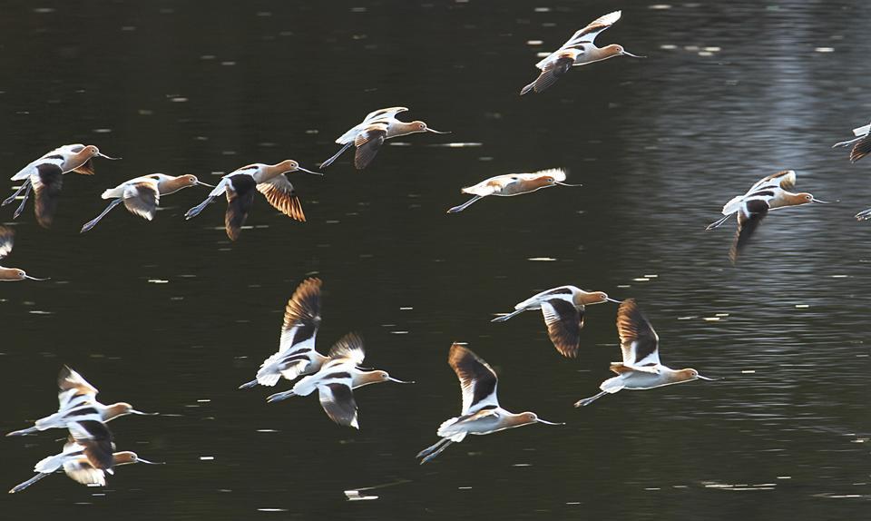 American avocets landing on Floating Island Lake