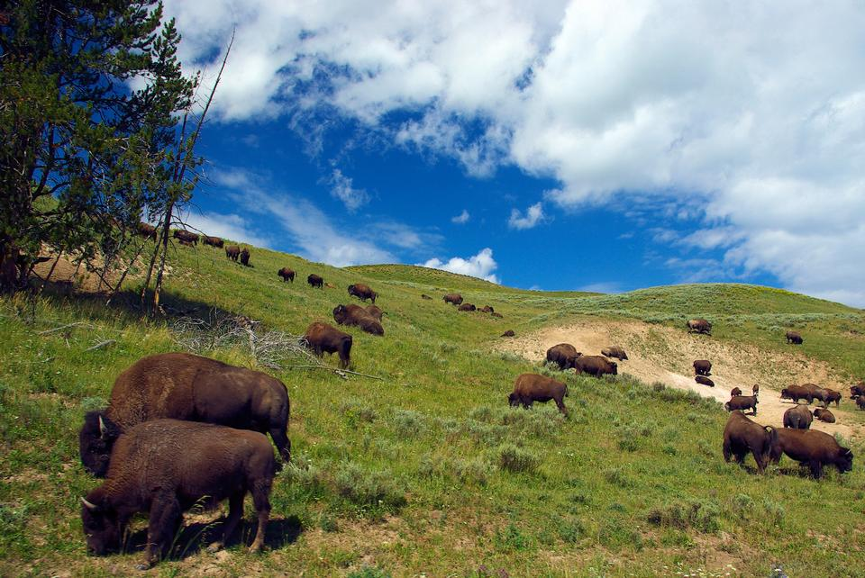Bison in Hayden Valley, Nationalpark