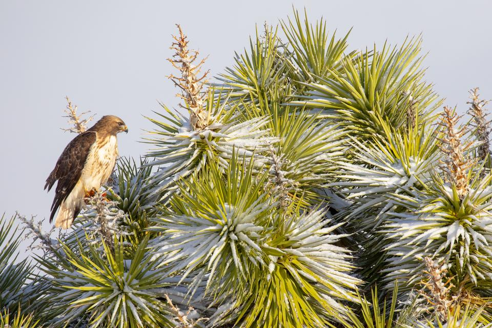 Red-tailed hawk and Joshua tree