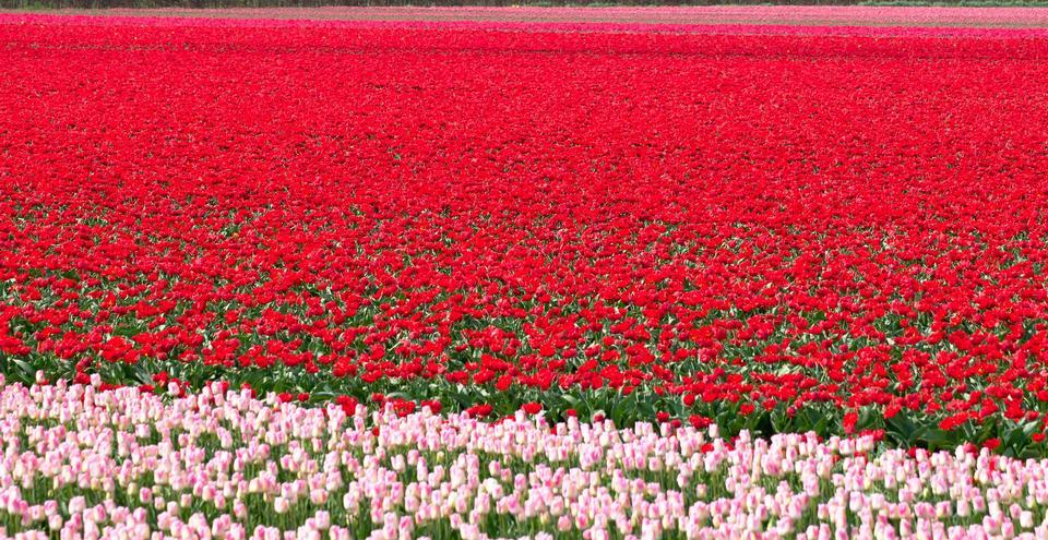 郁金香领域在荷兰