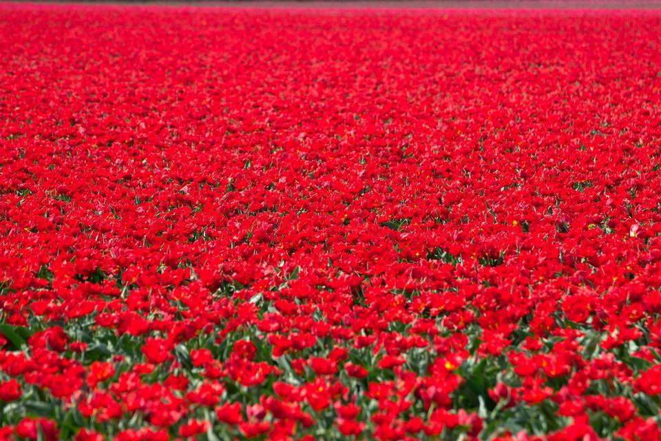 Tulip field in Netherlands