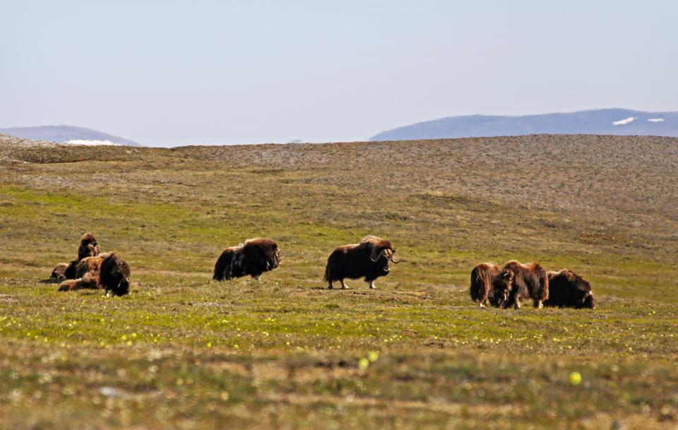 muskox lazily graze in the Kakagrak Hills