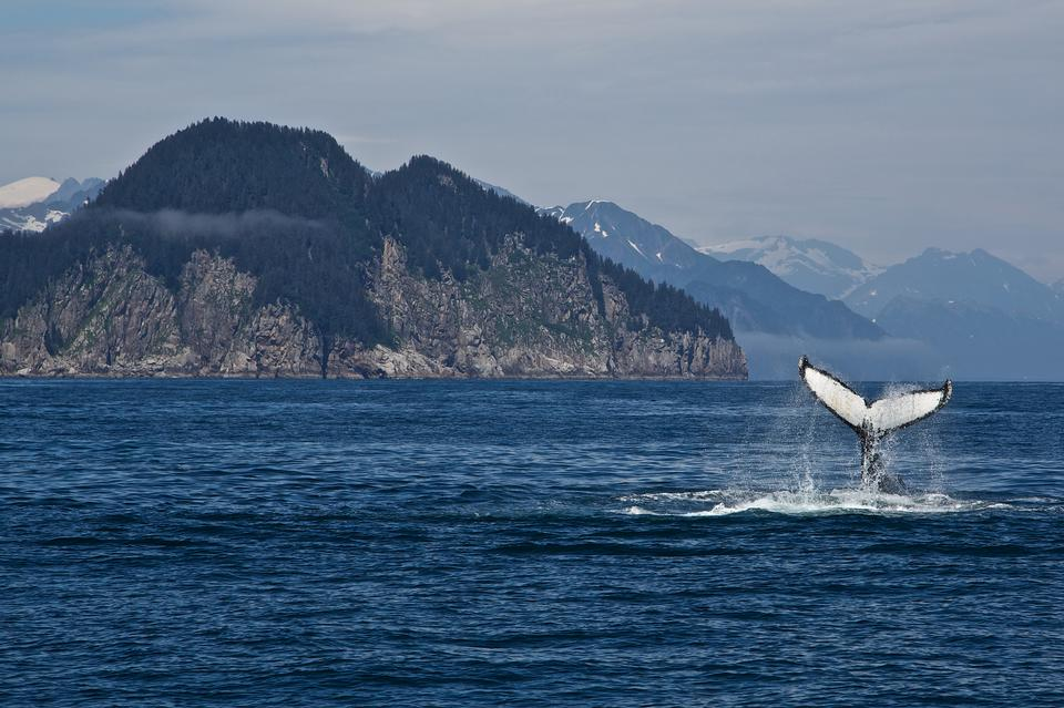 humpback whale in  Kenai fjords National Park