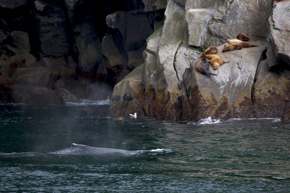 elephant seals in  Kenai fjords National Park