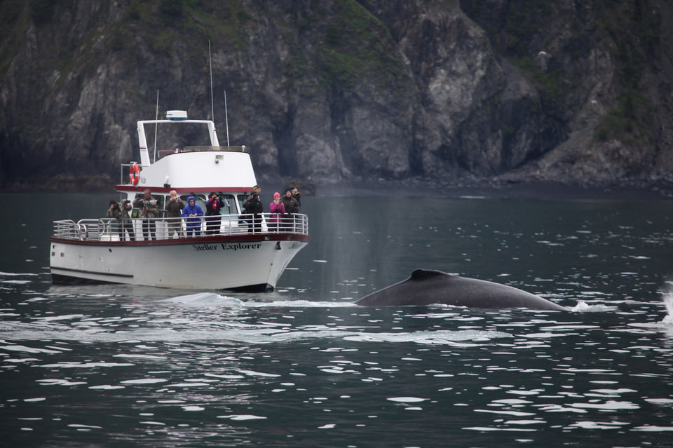 humpback whale in Kenai fjords National Park