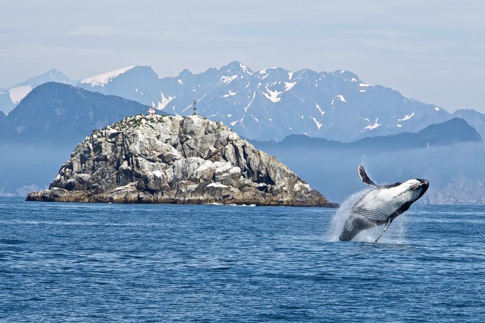 Baleine à bosse dans le parc national des fjords de Kenai