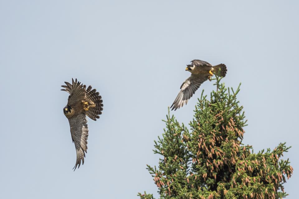 A Peregrine Falcon pair in Yukon-Charley Rivers
