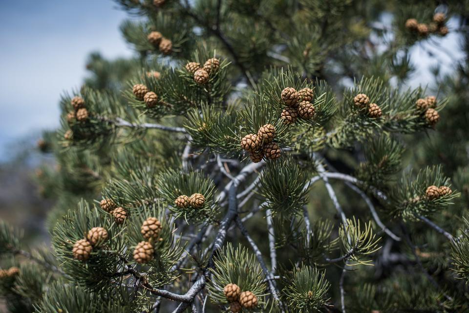 在黑岩石的Pinyon松树