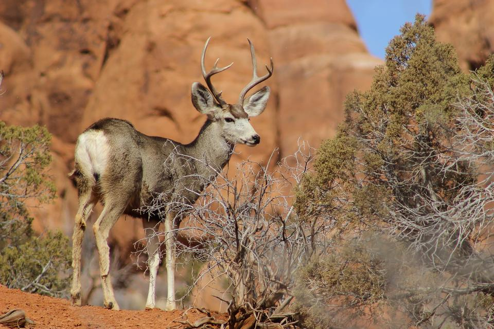 Mule Deer in Arches National Park