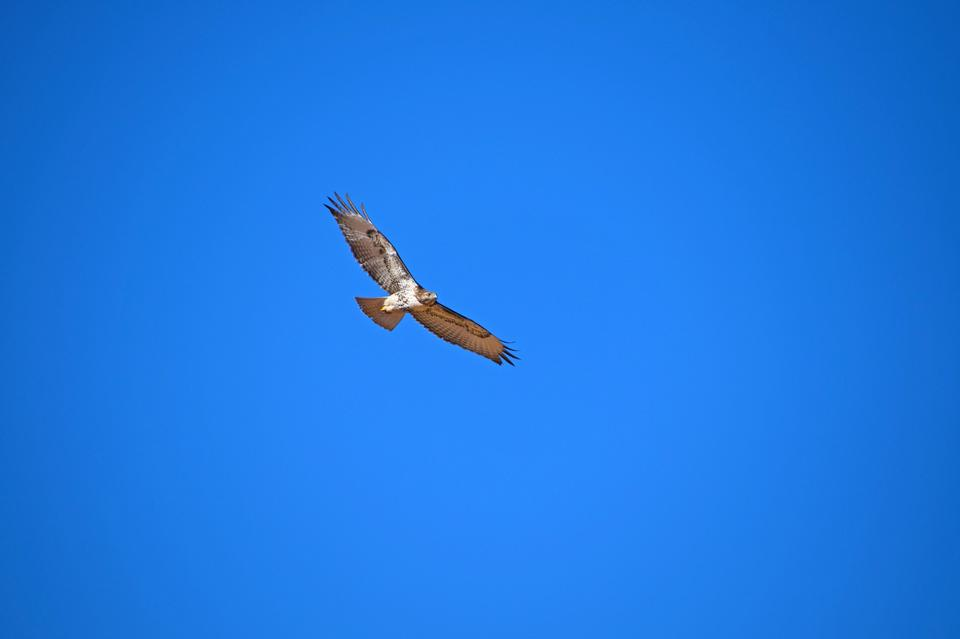 A Red-Tailed Hawk takes flight