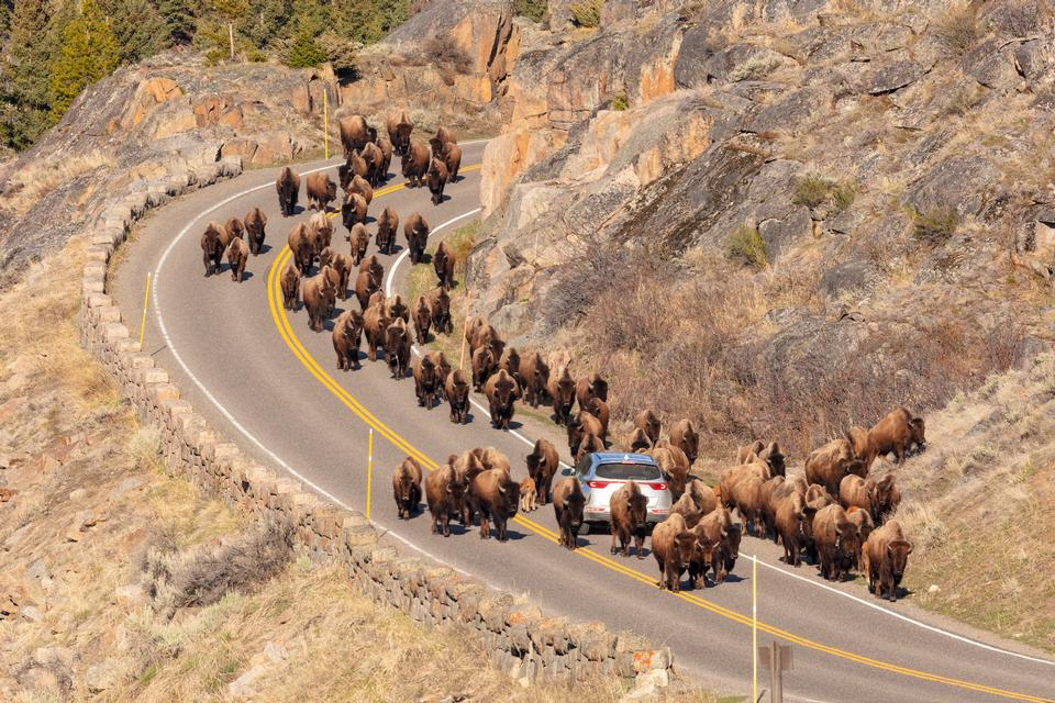 A group of bison surround a car