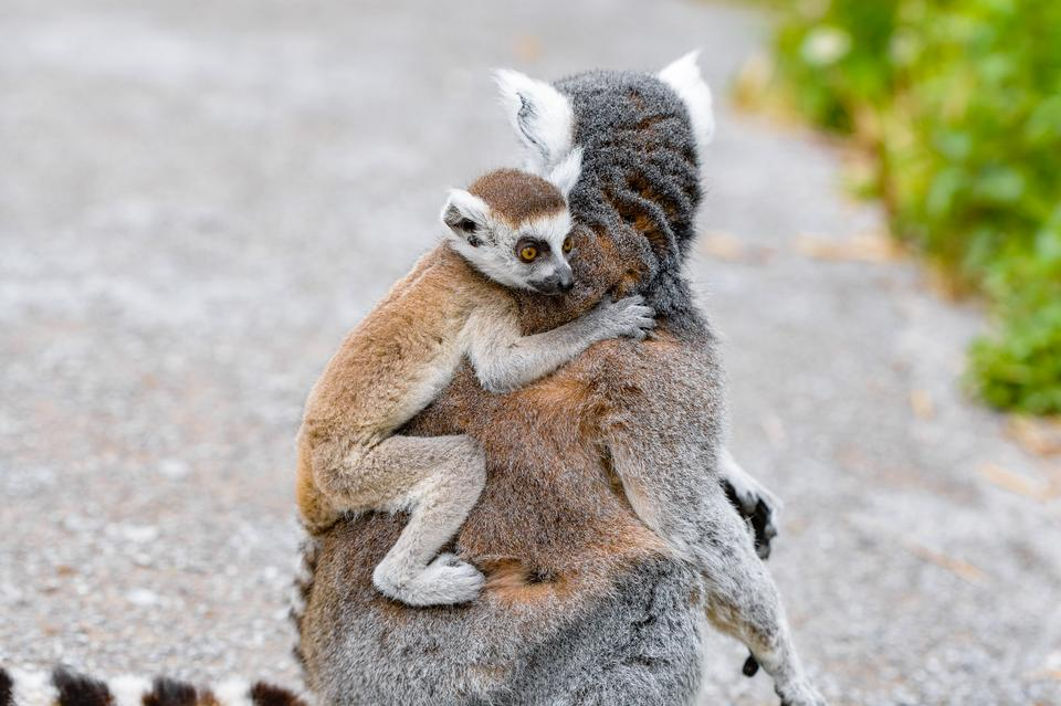 A Ring-shaped baby lemur with mom