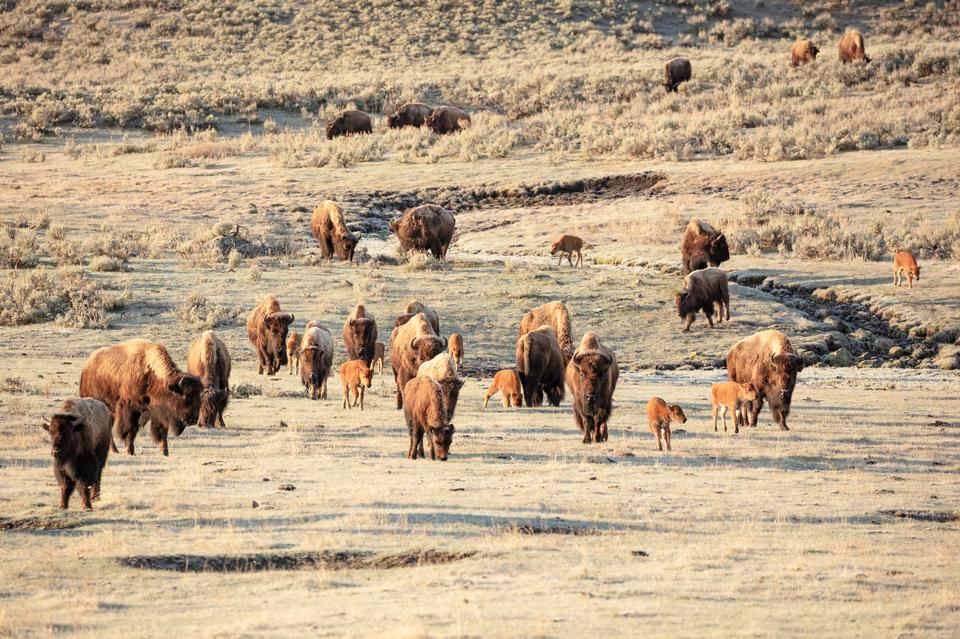 A group of bison cows with their newborns