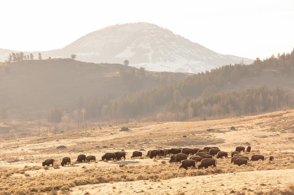 一群野牛放牧与德鲁伊峰
