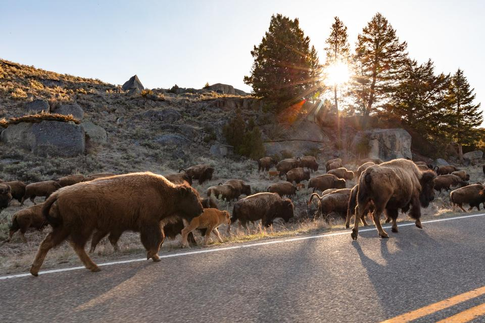 A group of bison walks along the road