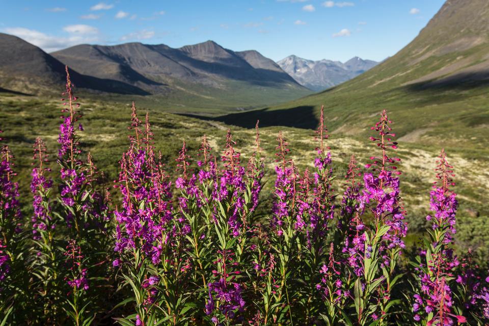 Wildflowers of Bremner Alaska