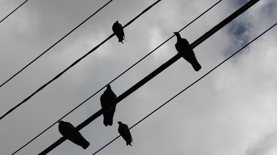 電線上的鳥