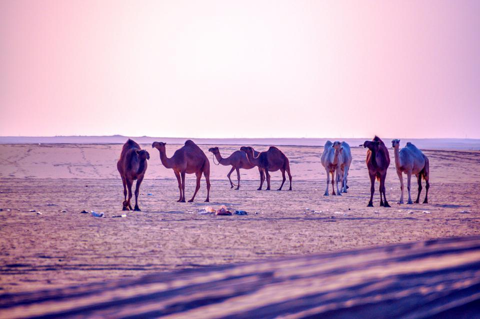 走在liwa沙漠的小組駱駝