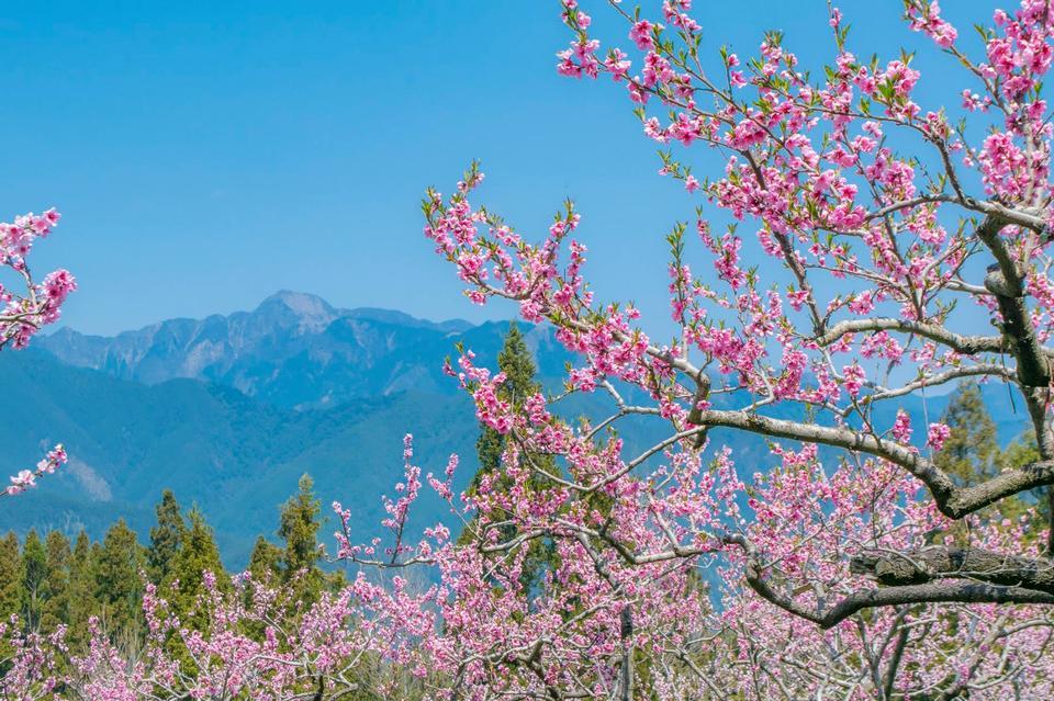 樱花在春天,京都,日本