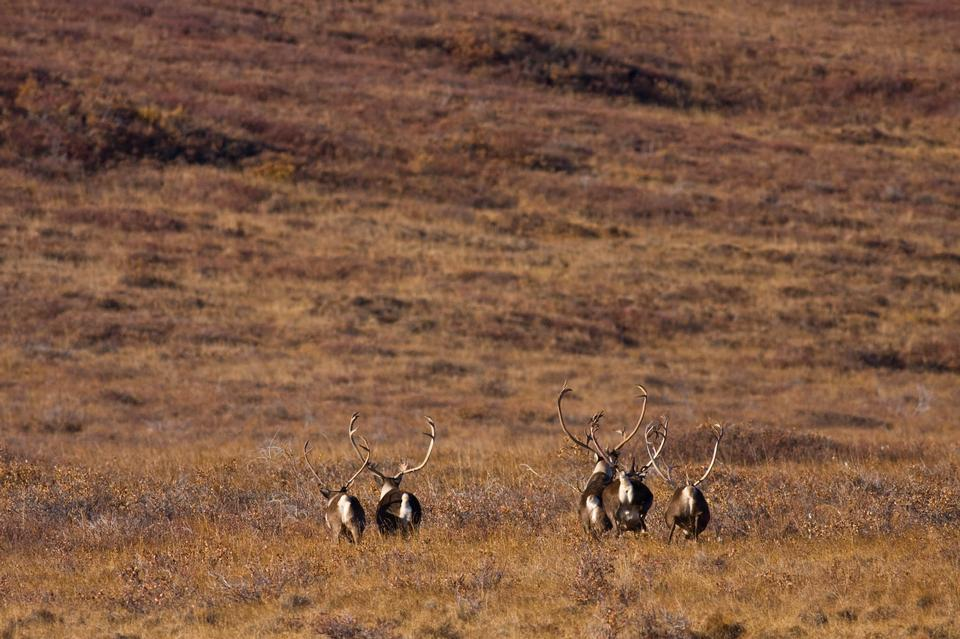 Caribou on the landscape in Noatak National Preserve