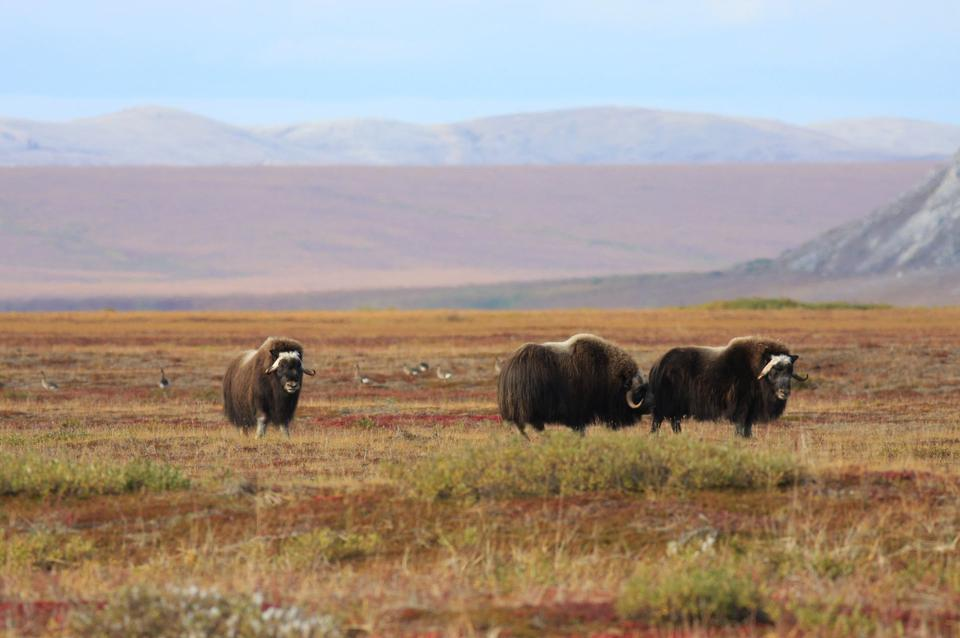 Muskox and Greater White-fronted Geese