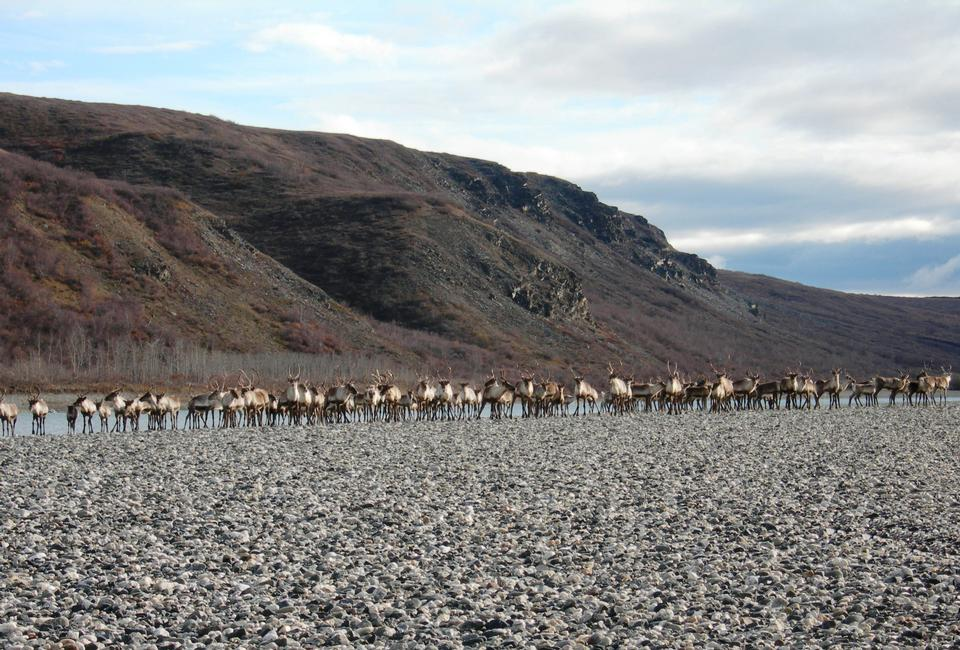 A group of caribou get ready to swim
