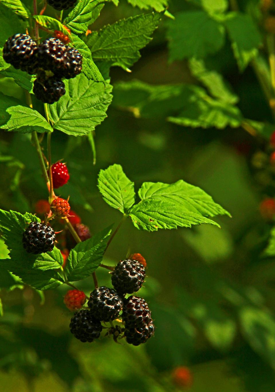 Ripe Black Berries