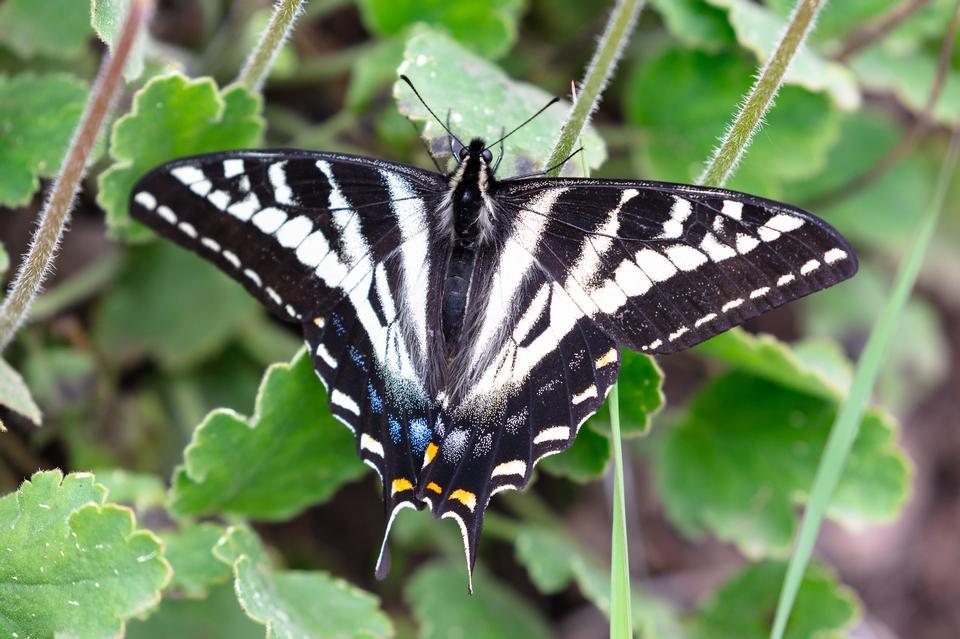 Pale swallowtail - Papilio eurymedon