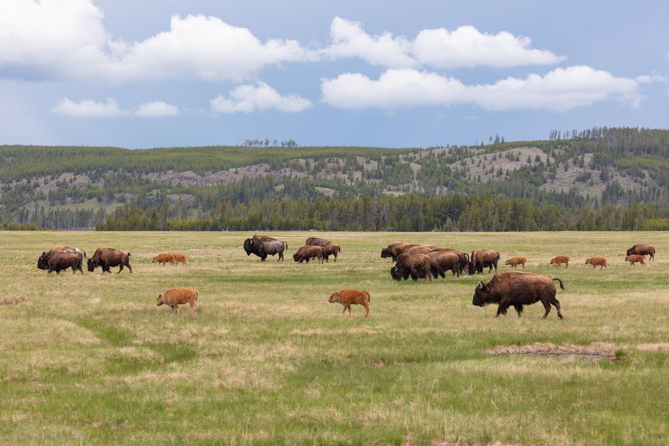 Bison on the move in Lower Geyser Basin