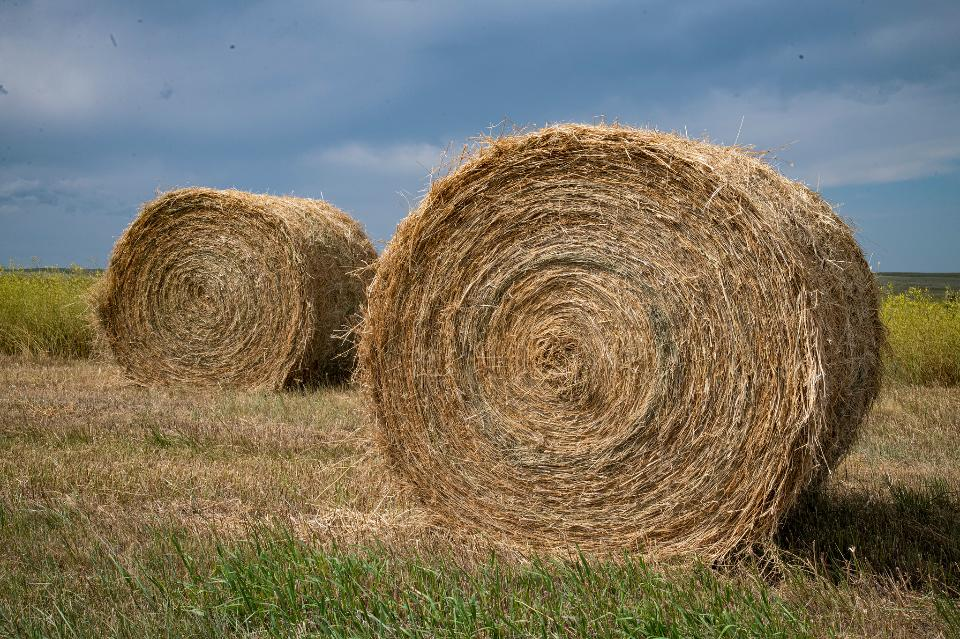 Rolled bales along the roadways