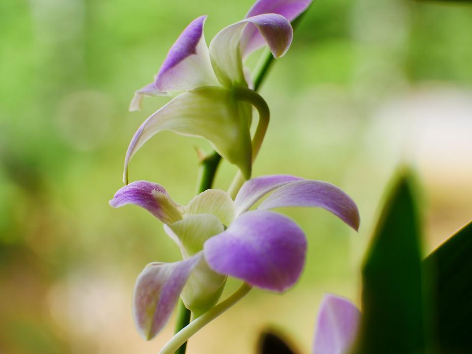Purple orchid flower phalaenopsis