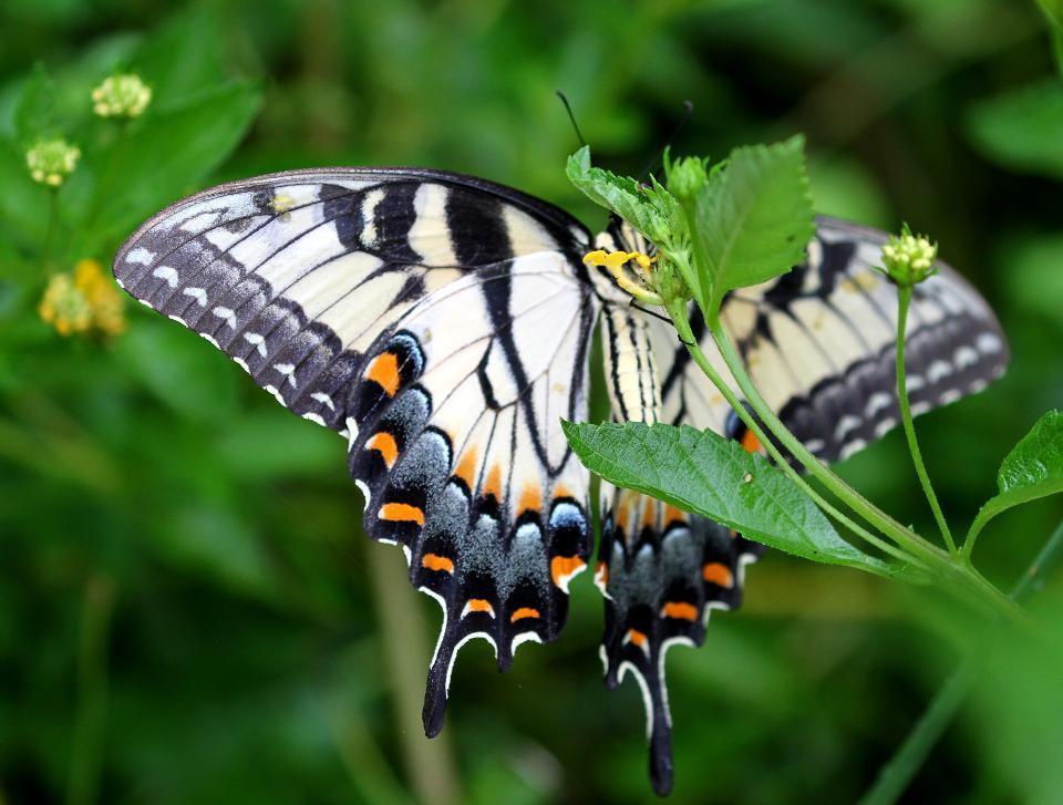 대 수도원의 Lantana에있는 호랑이 호랑 나비