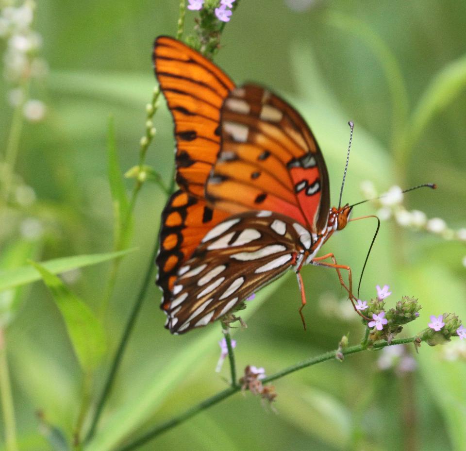 海湾贝母蝴蝶