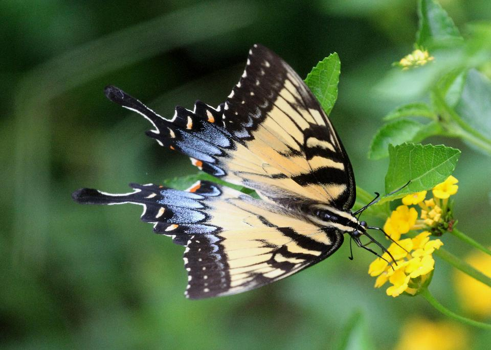 A Tiger Swallowtail on the abbot's Lantana