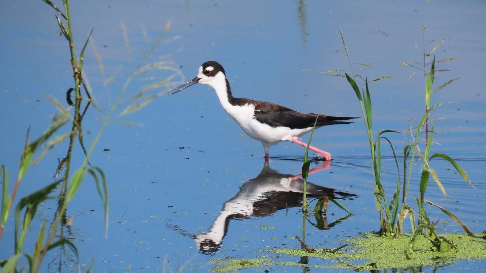 Black-Necked Stilt wading in the wat