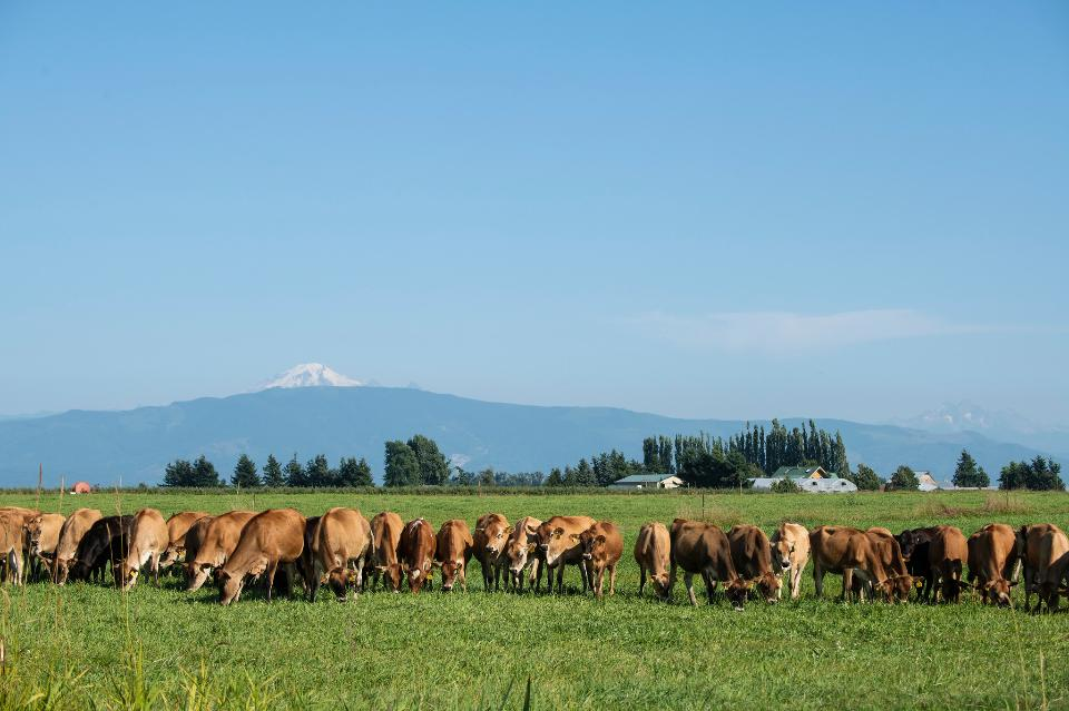 Cows graze in a pasture