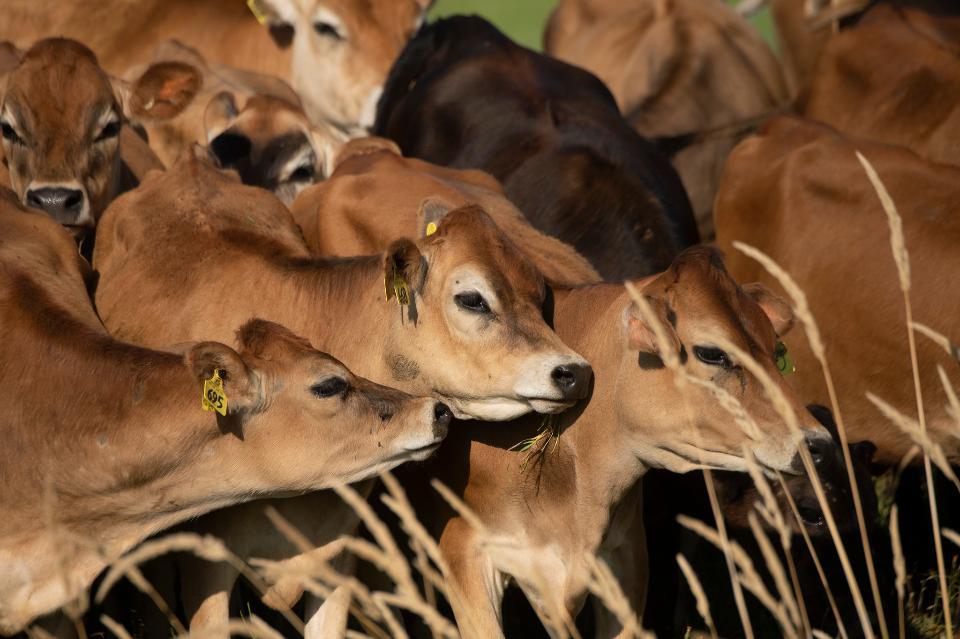 Cows graze in a pasture