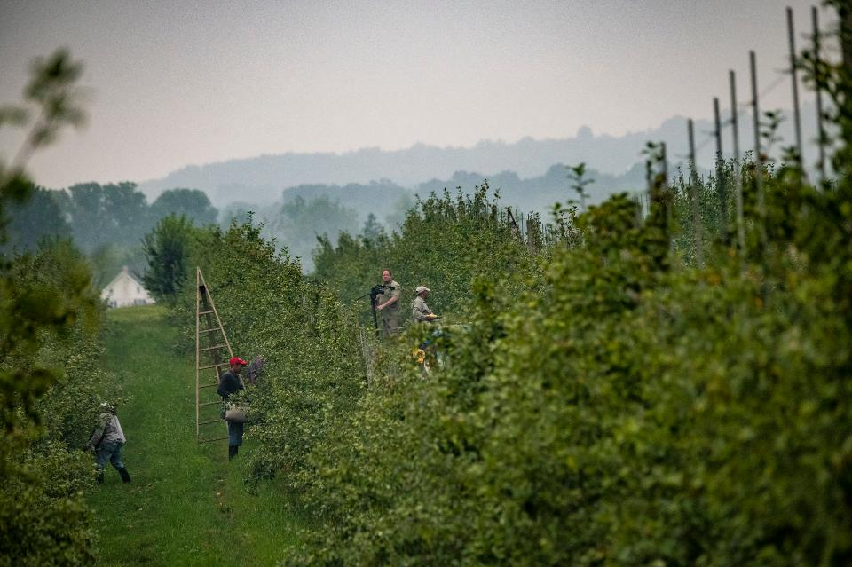 Men Picking Apples In Organic Orchard