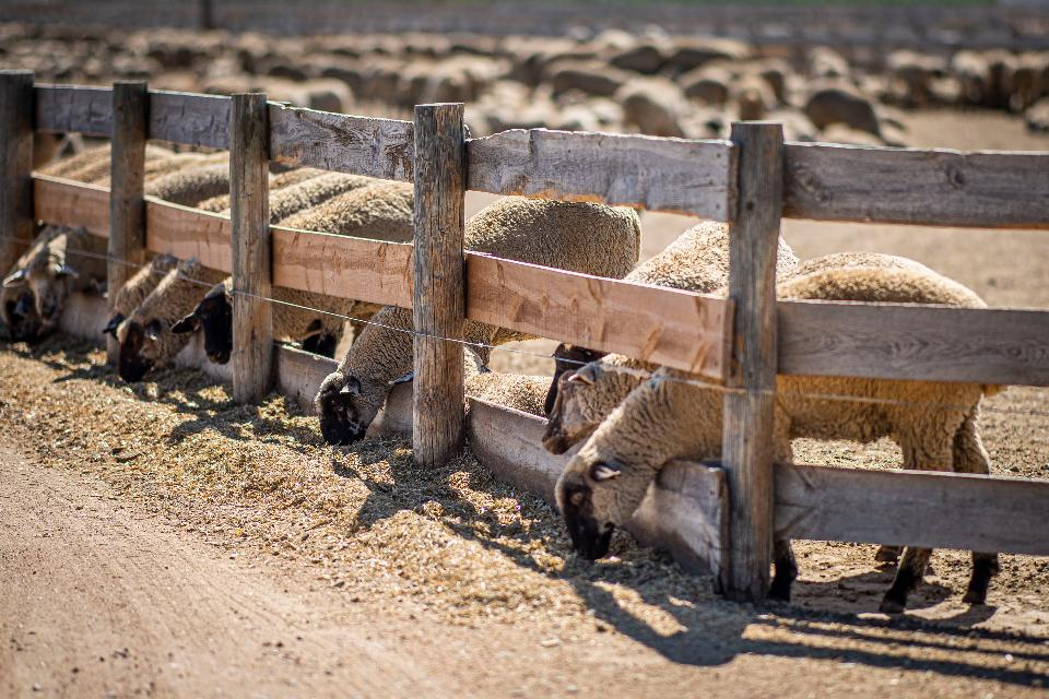 sheep and cattle at a feedlot in Colorado