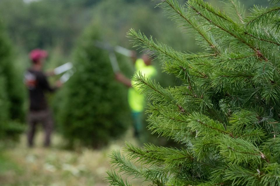 trimming and shaping Christmas trees