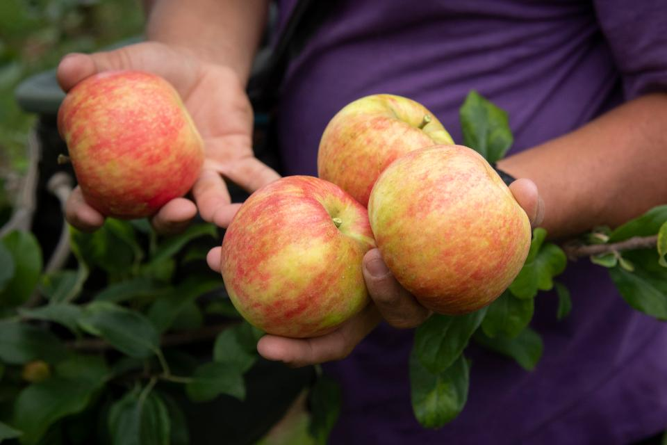 Landwirthände mit kürzlich geernteten Äpfeln