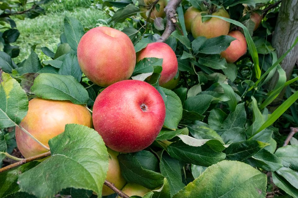 Apples In Organic Orchard