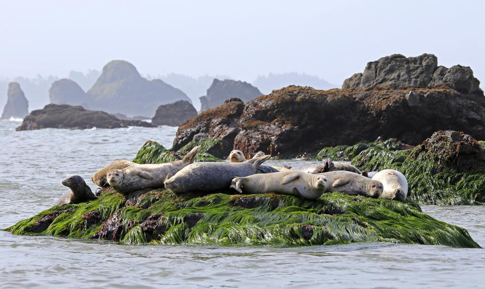 Harbor seals on surf grass