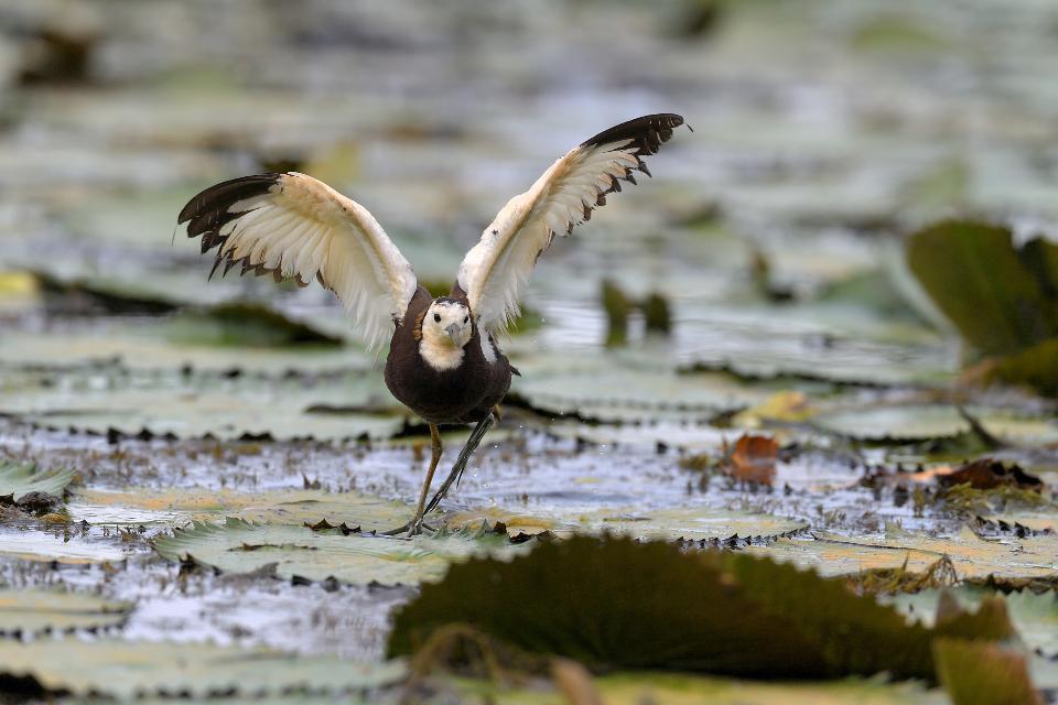 uccello fagiano d'acqua nelle zone umide, jacana dalla coda di fagiano